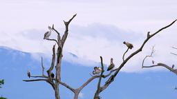Pelicans grooming on dry tree branches. Udawalawe, Sri Lanka Footage