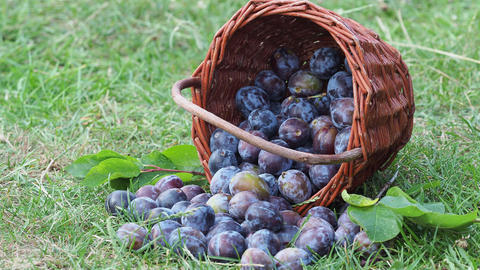 Plums in a wicker basket on the grass. Harvesting fruit from the garden. Plum harvest Live Action