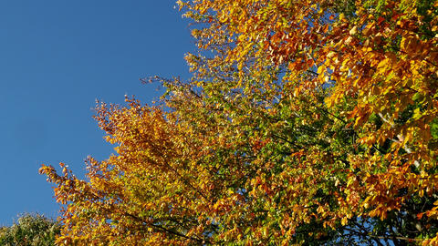 Colorful autumn leaves on trees in a forest. Autumn trees in the wind and clear blue sky Live Action