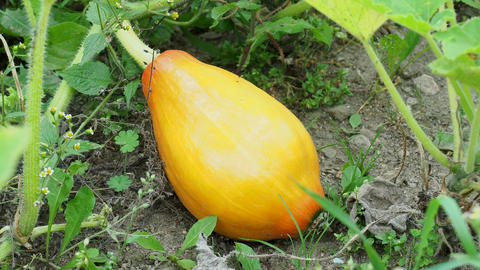 Pumpkin in garden. Growing pumpkin on a vegetable garden Live Action