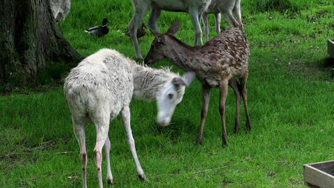 Herd of white fallow deer in nature. Rare albino fallow deer (Dama dama) Live Action