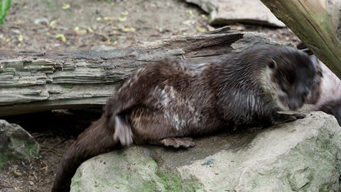 Asian small clawed otters (Amblonyx cinereus) Live Action