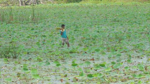 Sri Lankan guy walks in river delta and gathers lotus roots Live Action