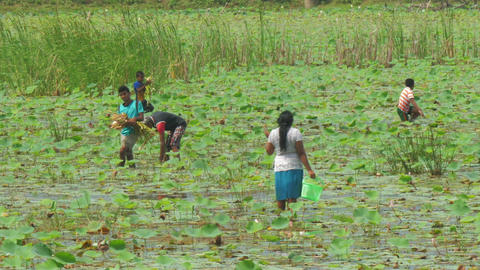 Sri Lankans walk in river delta and gather lotus flowers Live Action