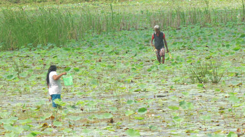local people walk in river water and collect lotus roots Live Action