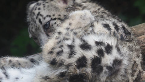 Baby snow leopard (Panthera uncia). Young snow leopard licks its fur Live Action