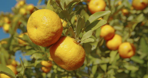 Ripe juicy orange mandarins on trees in orchard Live Action