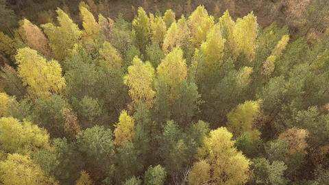 Yellowed birches in windy autumn forest Live Action