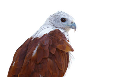 Perched Brahminy Kite Surveys His Surroundings Footage