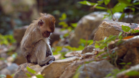 Solitary Monkey Hangs Out Footage