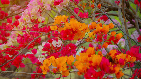 Three very healthy bougainvillea bushes in varying colors. with their branches i Footage