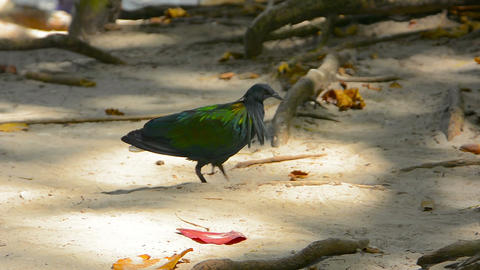 Nicobar Pigeon struts about in the sand. foraging for food Footage
