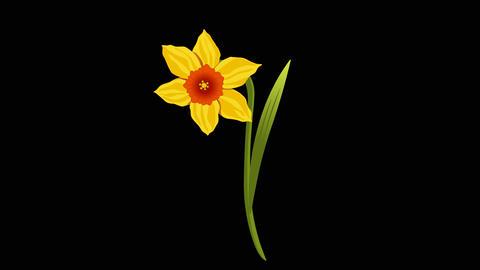 Narcissus yr 2 3 Animation