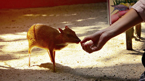 Tourists slowly and carefully feeds a very shy Javan Mouse-deer by hand at Langk Live Action