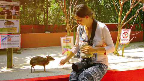 Javan mouse deer eating from a happy tourist's hand at a wildlife parkin Langkaw Live Action