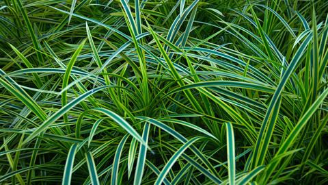 Ornamental Grass in a Beautiful Garden Footage