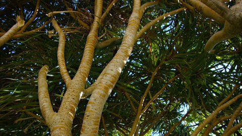 Pandanus Amaryllifolius Trees. Swaying in a Gentle Breeze Footage