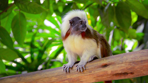 Little Cotton-top Tamarin Monkey. with his distinctive brown and white fur at th Footage