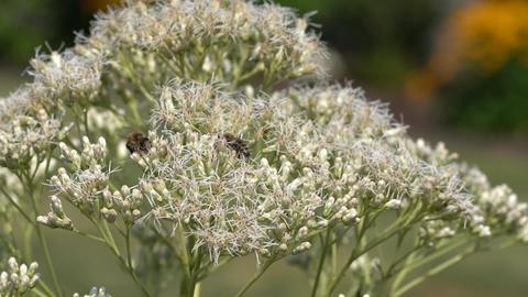 European honey bee (Apis mellifera) on agrimony Live Action
