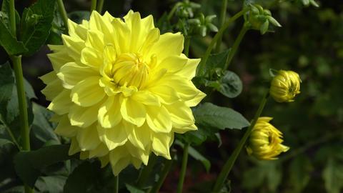 Dahlia (Dahlia), flowers of summer Live Action