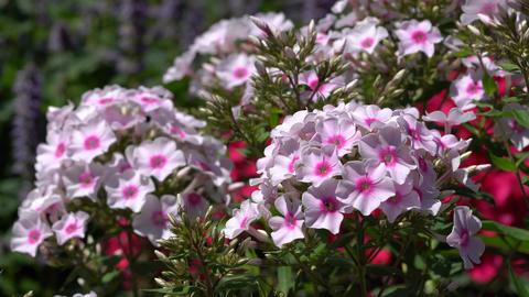 Garden Phlox (Phlox paniculata), flowers of summer Live Action