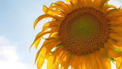 Sunflower Field Landscape on Sky Background Live Action