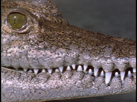 An alligator stares at its surroundings Stock Video Footage