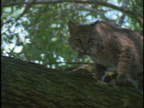 A bobcat climbs a tree with a mouse in its mouth Stock Video Footage