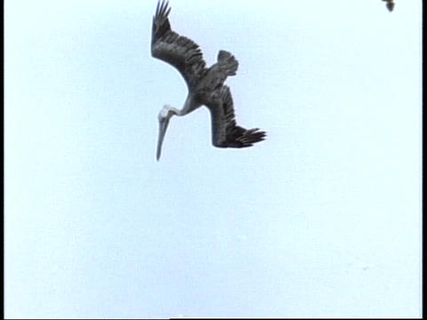 Pelicans dive into a river in Florida's Everglades... Stock Video Footage