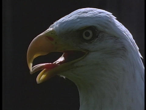 A bald eagle surveys its surroundings Stock Video Footage