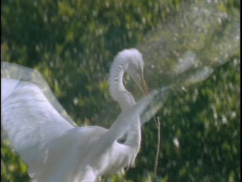 An egret descends on its nest with a twig in its mouth Stock Video Footage
