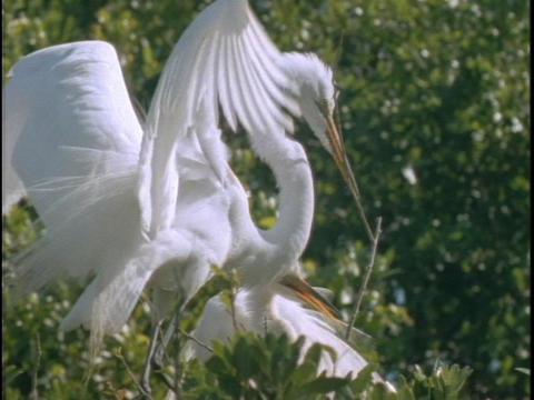 An egret descends on its nest with a twig in its mouth Footage