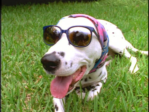 A dog wearing sunglasses and a scarf lays in the grass Live Action