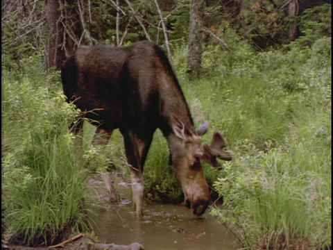 A moose drinks from a forest pond Footage