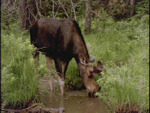 A moose drinks from a forest pond Stock Video Footage