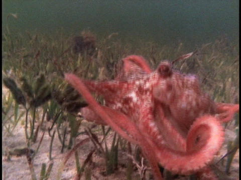 An octopus swims underwater Stock Video Footage