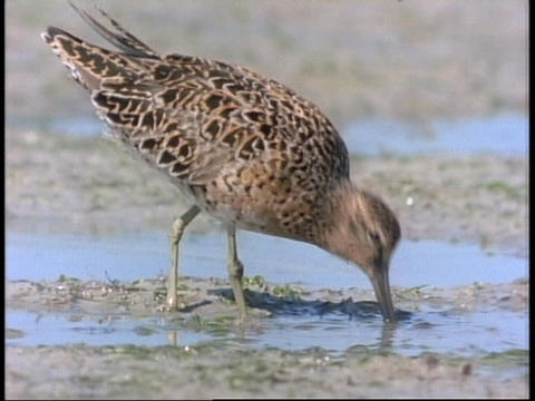 A Plover forages in a sandy puddle in Florida Stock Video Footage