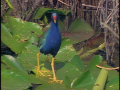 A purple gallinule walks on lily pads in Florida's... Stock Video Footage