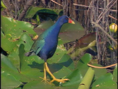 A purple gallinule walks on lily pads in Florida's Everglades National Park Footage