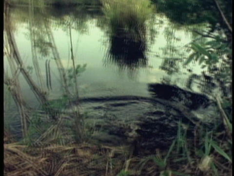 An alligator emerges from a swamp in Florida's Everglades Stock Video Footage