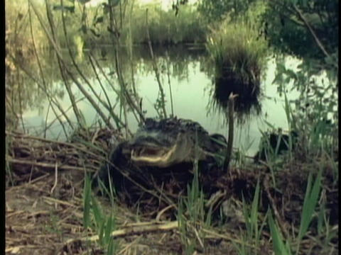 An alligator emerges from a swamp in Florida's Everglades Footage