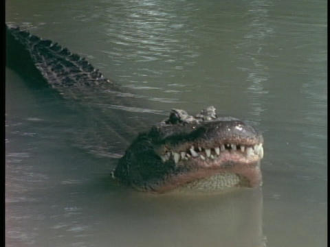 An alligator smacks its head against the water in... Stock Video Footage