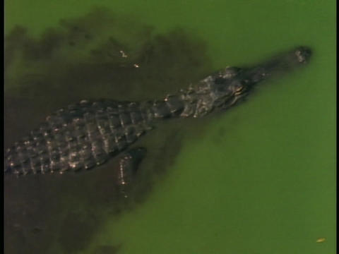 An alligator leaves a muddy trail as it swims through... Stock Video Footage