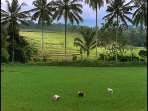 Farmers harvest a rice paddy in Bali, Indonesia Stock Video Footage
