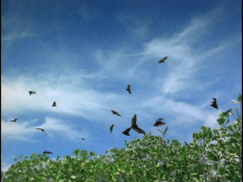 Bats fly over the Indonesian jungle Stock Video Footage