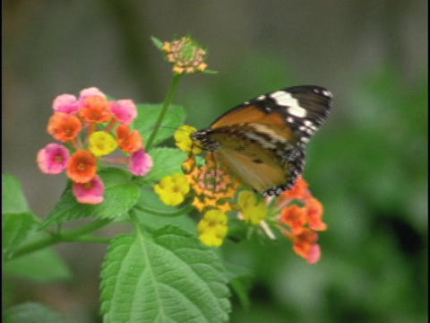 A butterfly crawls over a flower Footage