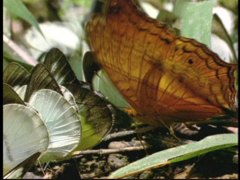 An orange butterfly and other green and white butterflies... Stock Video Footage