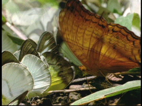 An orange butterfly and other green and white butterflies flap their wings on the ground Live Action