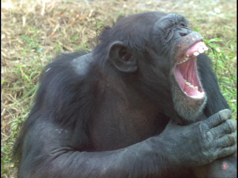 A chimpanzee yawns before resting its head on its arm Stock Video Footage