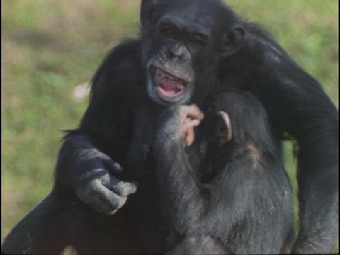 A chimpanzee holds its baby Stock Video Footage